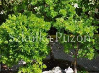 Larix decidua (modrzew europejski)