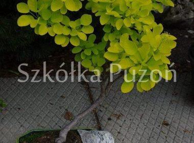 Cotinus coggygria (perukowiec podolski) 'Golden Spirit'