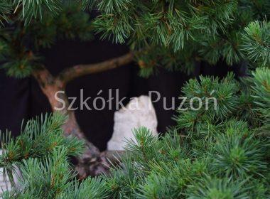 Pinus sylvestris (sosna pospolita) 'Watereri'