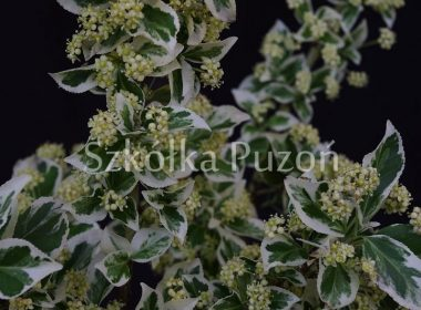 Euonymus fortunei (trzmielina Fortune'a) 'Silver Queen'