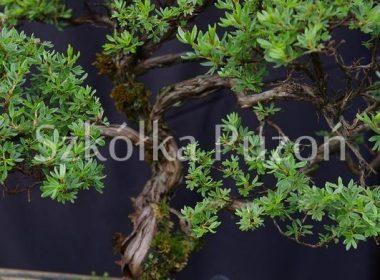 Potentilla fruticosa (pięciornik krzewiasty)