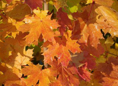 Acer platanoides (klon zwyczajny) (jesien)