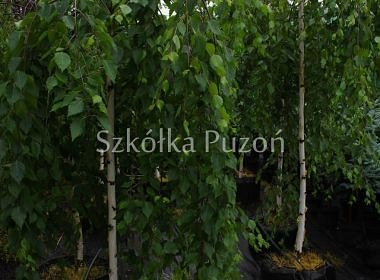 Betula utilis Long Trunk