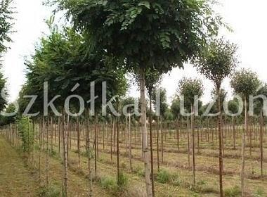 Robinia pseudoacacia (robinia akacjowa) 'Umbraculifera' / Prunus (wiśnia) 'Umbraculifera'