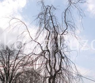 Fagus sylvatica (buk pospolity) 'Pendula'- SOLITER