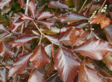 Fagus sylvatica (buk pospolity) Purpurea Pendula