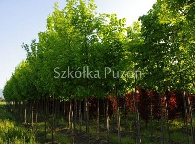 Acer campestre (klon polny) 'Elsrijk'