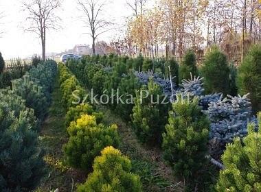 Pinus (sosna)