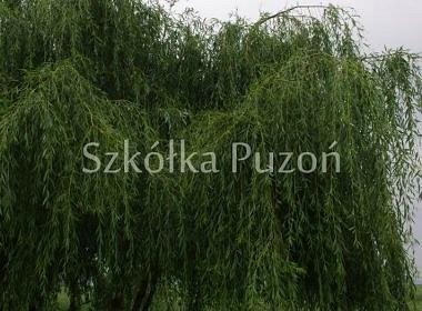Salix x sepulcralis (wierzba płacząca) 'Alba