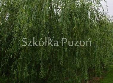 Salix x sepulcralis (wierzba płacząca) 'Alba'
