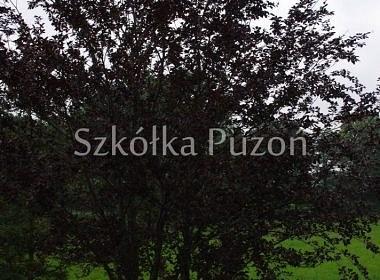 Fagus sylvatica (buk pospolity) 'Atropunicea'
