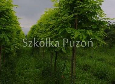 Robinia pseudoacacia (robinia akacjowa) 'Frisia'