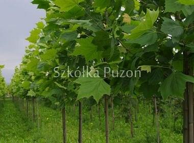 Platanus acerifolia (platan klonolistny)