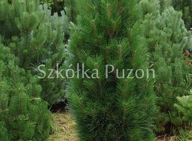 Pinus nigra (sosna czarna) 'Zimmer'