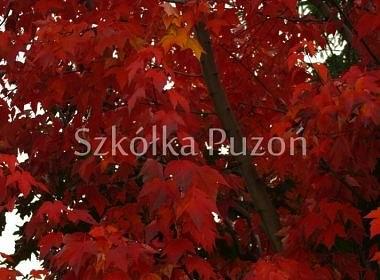 Acer rubrum (klon czerwony) 'Red Sunset' (jesień)