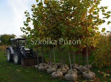 Platanus acerifolia (platan klonolistny) - przygotowanie