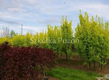 Fagus (buk) 'Purpurea Pendula' / Ulmus (wiąz) 'Wredei'