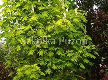 Aesculus hippocastanum (kasztanowiec zwyczajny) 'Aurea'