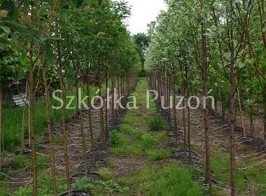 Sorbus intermedia (jarząb szwedzki) 'Brouwers'