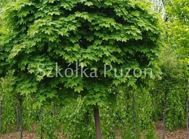 Acer platanoides (klon zwyczajny) 'Globosum'