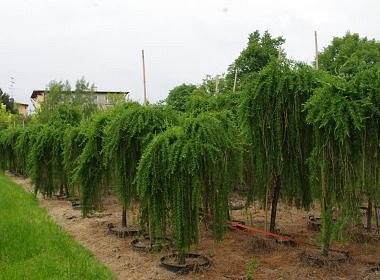 Larix decidua (modrzew europejski) 'Pendula'