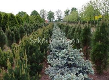 Picea (świerk) / Pinus (sosna)