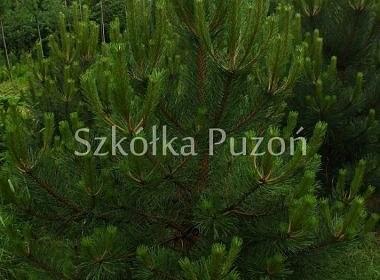 Pinus nigra (sosna czarna)