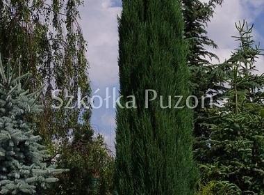 Juniperus scopulorum (jałowiec skalny) ''Blue Arrow'