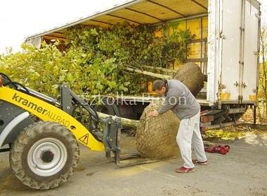 Platanus acerifolia (platan klonolistny)- przygotowanie i załadunek
