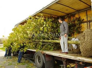 Platanus x hispanica (platan klonolistny) 'Acerifolia'- przygotowanie i załadunek