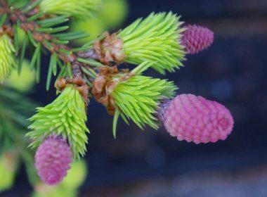 Pices abies (swierk pospolity) Acrocona