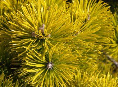 Pinus mugo (sosna gorska) Winter Gold (zima)