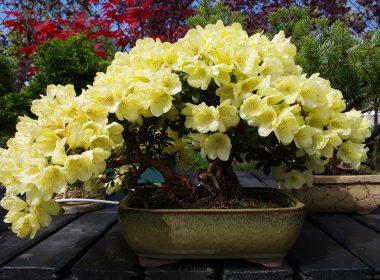 rhododendron-rozanecznik-goldkrone