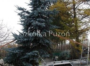 Picea pungens (świerk kłujący) 'Oldenburg'