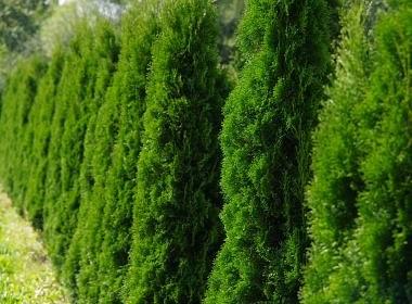 thuja occidentalis smaragd - żywotnik zachodni