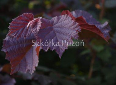 Corylus avellana (leszczyna pospolita) 'Purpurea'