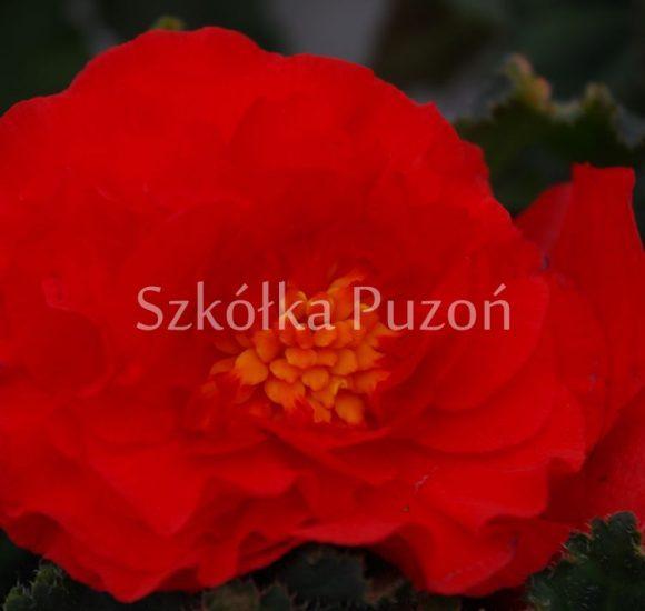 Begonia (begonia) Rosana Red