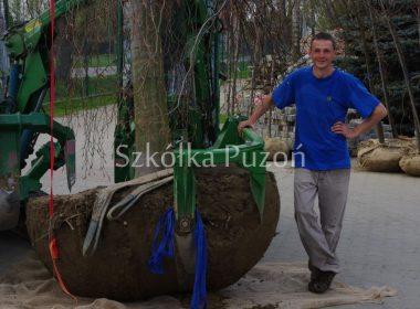Największy soliter szkółki- Fagus sylvatica 'Pendula'- wiosna 2013