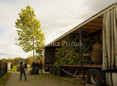 Platanus acerifolia (platan klonolistny) - przygotowanie i załadunek