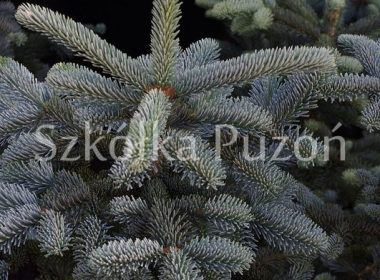 Abies lasiocarpa (jodła górska) 'Argentea'