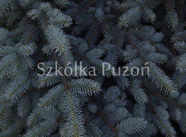 Picea pungens (świerk kłujący) 'Hopsii'