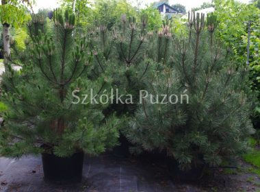 Pinus nigra (sosna czarna) 'Austriaca'