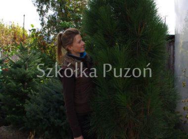 pinus nigra sosna czarna fastigiata renii
