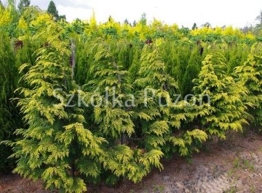 Chamaecyparis lawsoniana (cyprysik Lawsona) 'Golden Wonder'