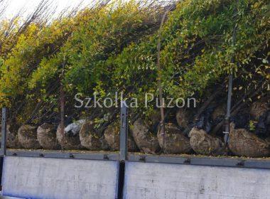Załadunek- Carpinus betulus (grab pospolity) 'Fastigiata'