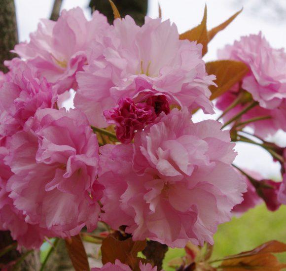 Prunus serrulata (wiśnia piłkowana) Rosea Kanzan