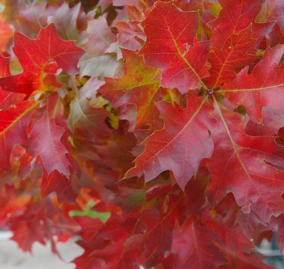 quercus rubra - dąb czerwony