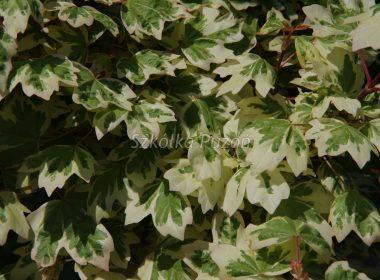Acer campestre (klon polny) 'Carnival'