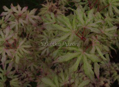Acer palmatum (klon palmowy)