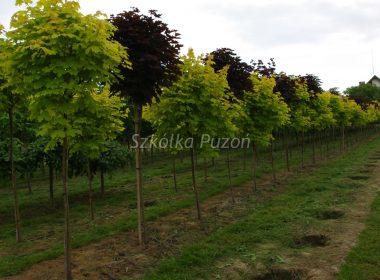 Acer platanoides (klon zwyczajny) 'Crimson Gold' i Acer platanoides (klon zwyczajny) 'Crimson Sentry'